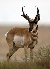 Antelope.png