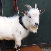 Pedigree Pygmy Goats Ireland