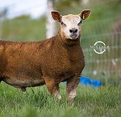 Non-Pedigree Livestock
