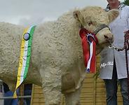 Pedigree Cattle