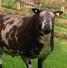 Irish Dutch Spotted Sheep Association