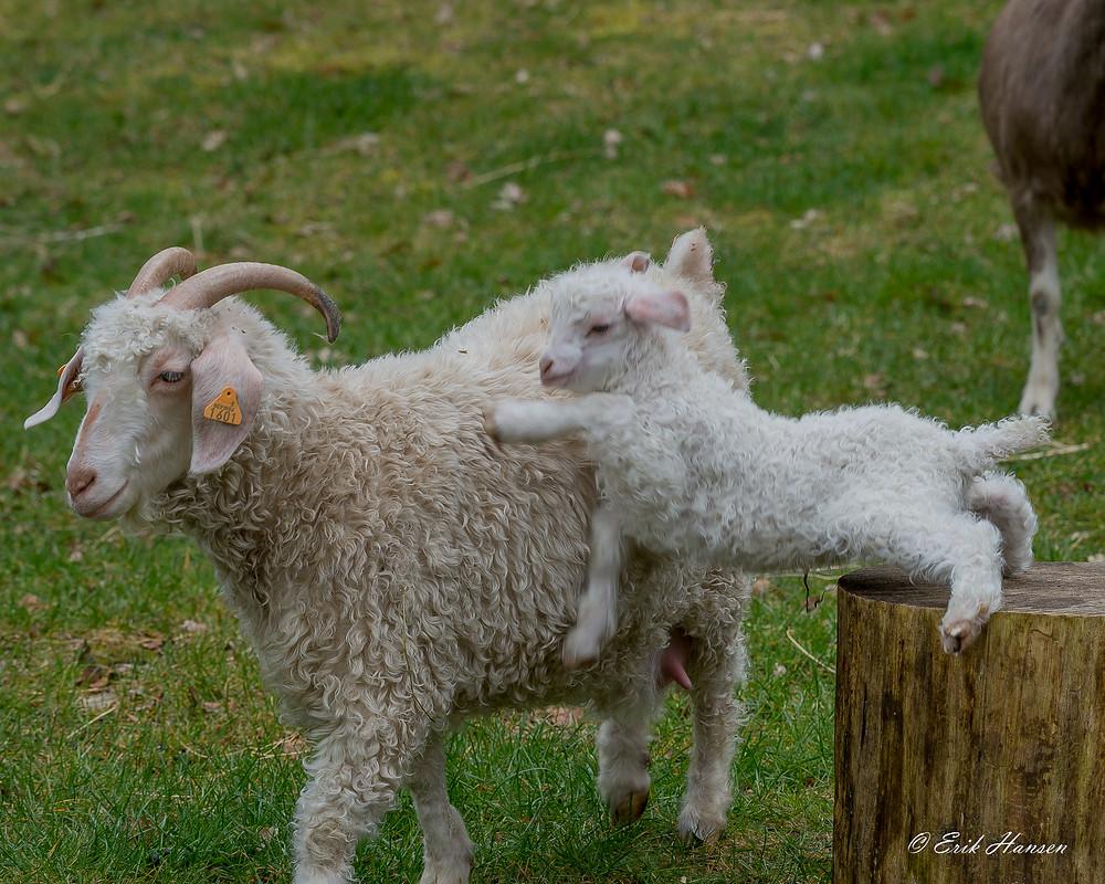 angorageiten, angora goat, mohair, Khansenhof, kid, lam