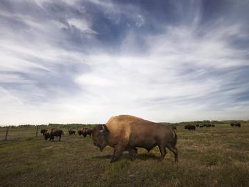 Syncrude's wood bison herd has 50+ new calves