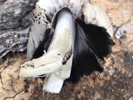 Coprinopsis romagnesiana Mushroom