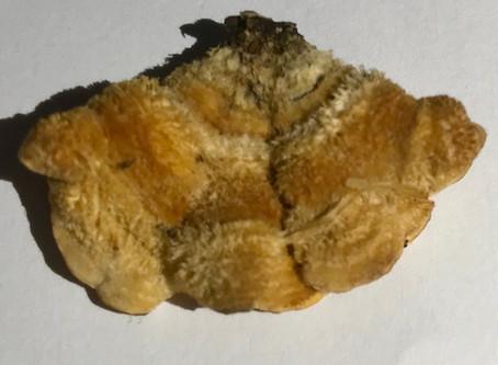 Hairy Curtain Crust (Stereum hirsutum)