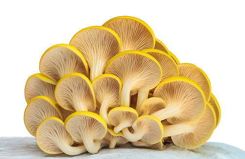 Industrial growth of oyster mushrooms on