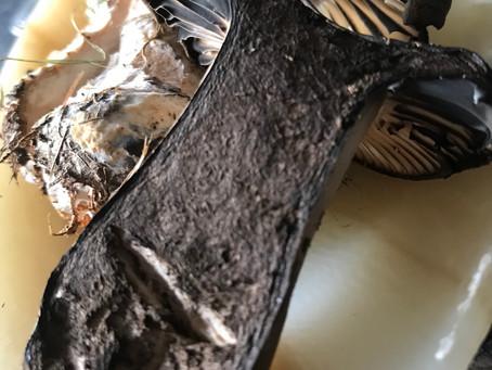 Blackening Brittlegills Mushroom (Russula nigricans)