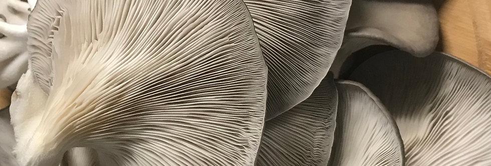 Wholesale Fresh Silver Oyster Mushroom 4 x 500g