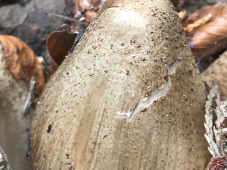 Singer- Redhead (Coprinopsis romagnesiana) Vilgalys & Moncalvo
