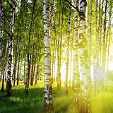Birch Trees In A Summer Forest.jpg