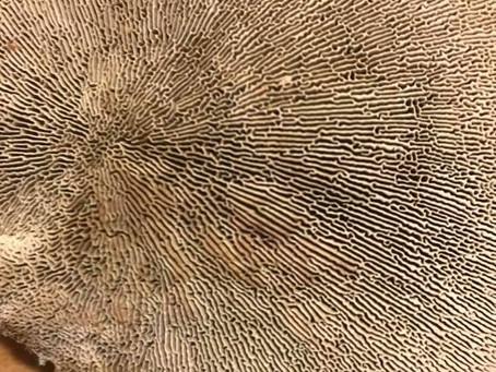 Thin Maze Flat Polypore (Daedaleopsis confragosa)