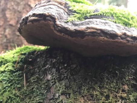 Horse's Hoof Fungus- Amadou (Fomes fomentarius)