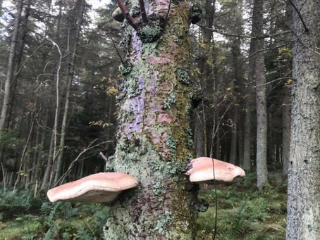 Birch polypore. Medicinal properties and other practical uses.