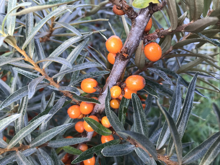 The plant from heavens- Majestic Sea Buckthorn