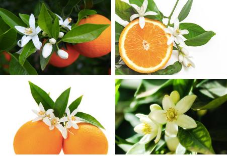 Orange blossoms, or neroli