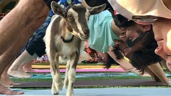 Goat Yoga & Kombucha for Charity  I  Pint Fermin Blog