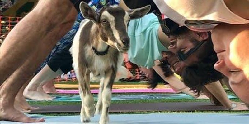 Goat on yoga mat with yogis in down dog  I  Pint Fermin  I  San Pedro Kombucha