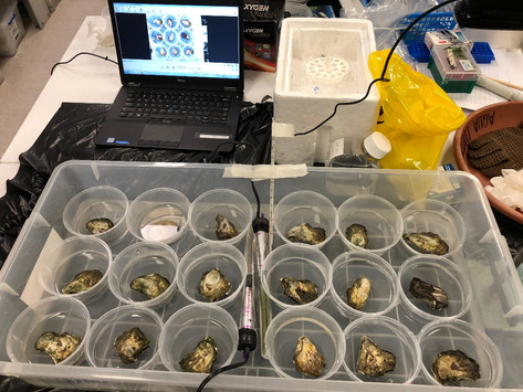 New technologies to Improve Sydney Rock Oyster breeding and production