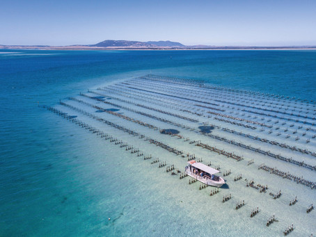 POMS-Resistant Oysters Given New Lease of Life