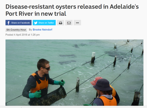 Disease-resistant oysters released in Adelaide's Port River in new trial