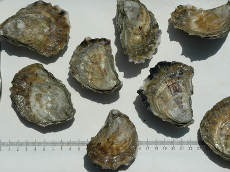 Smart strategies for Sydney Rock oysters