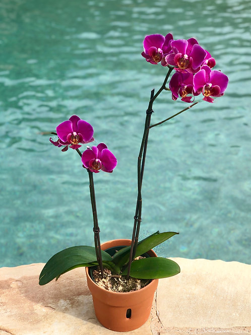 Simply Orchid