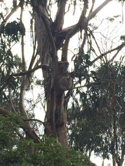 Édesen alvó koalamaci