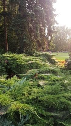 margitsziget;japánkert;bokor;növény