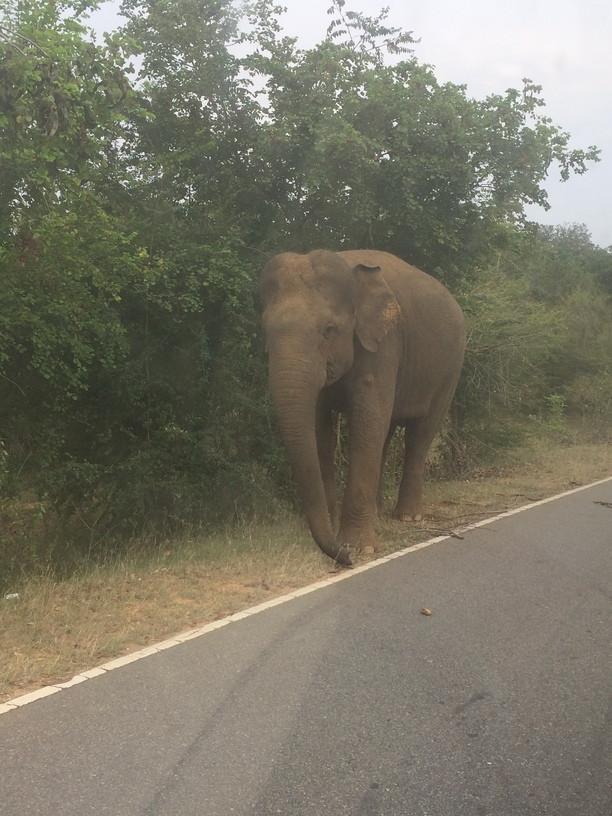 Sri Lanka-i elefánt