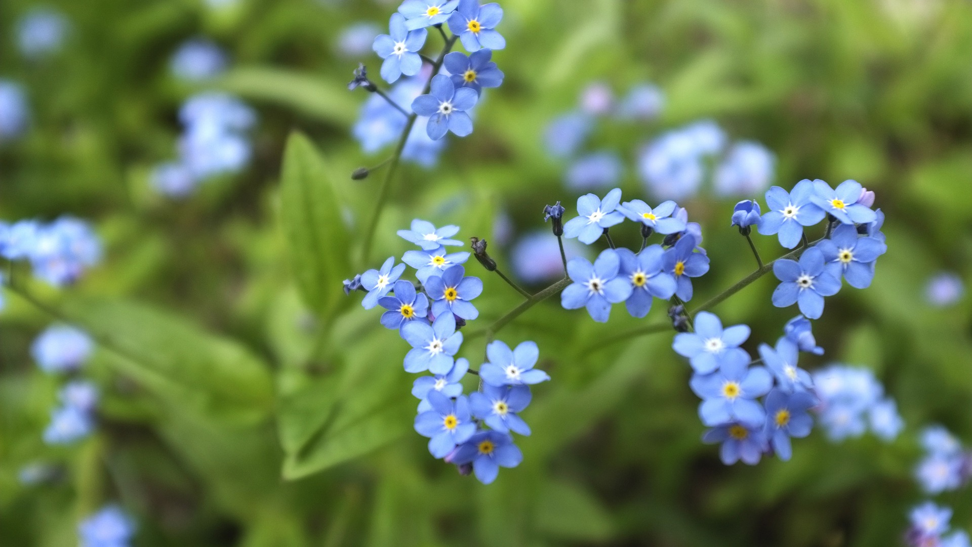 forget-me-not-932117_1920