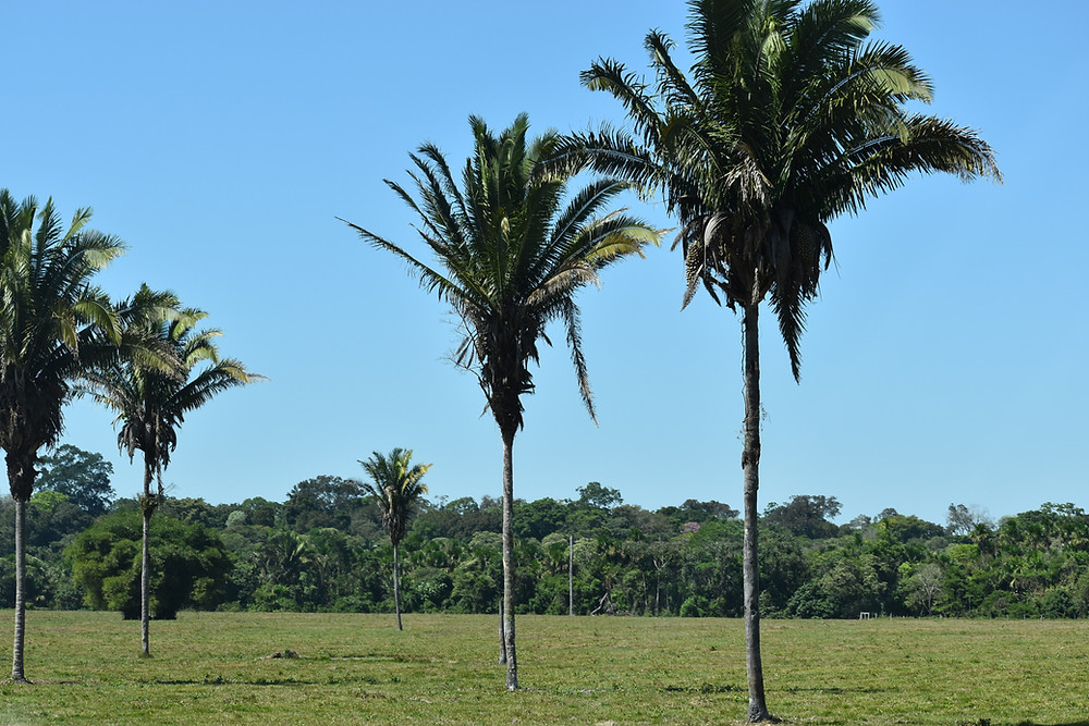 Palm trees grow in a pasture, with forest in the background