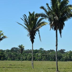 Cartão postal do campo: Uma proliferação de palmeiras