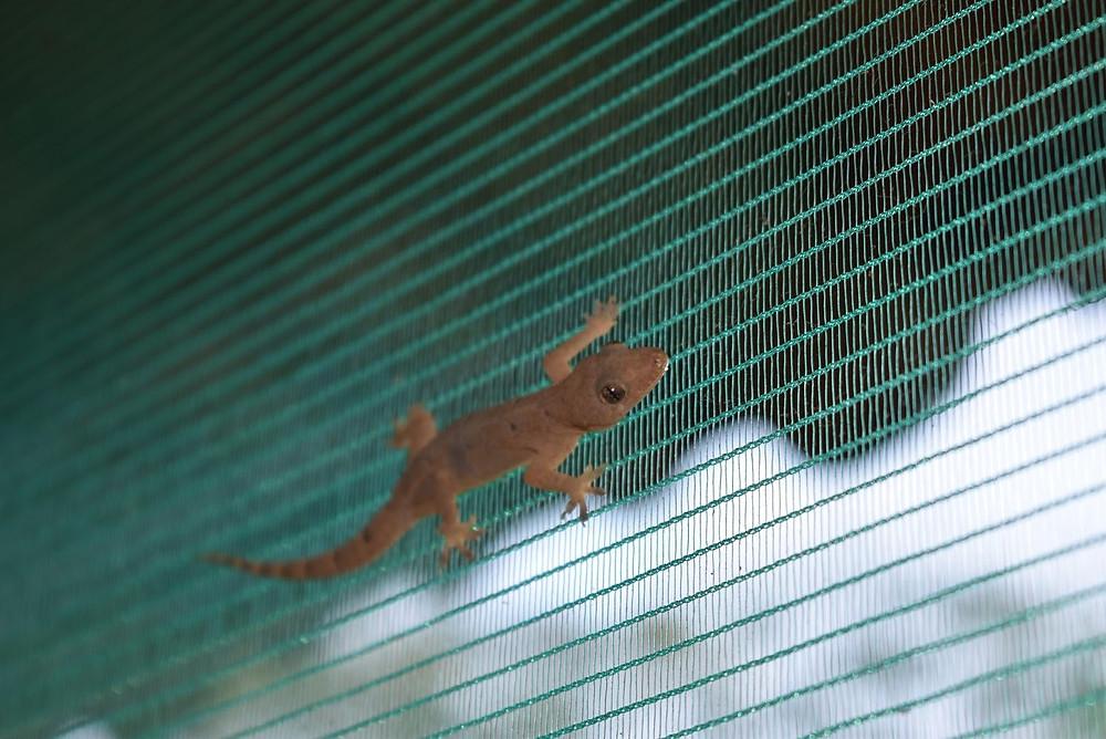 Gecko em uma tela de janela