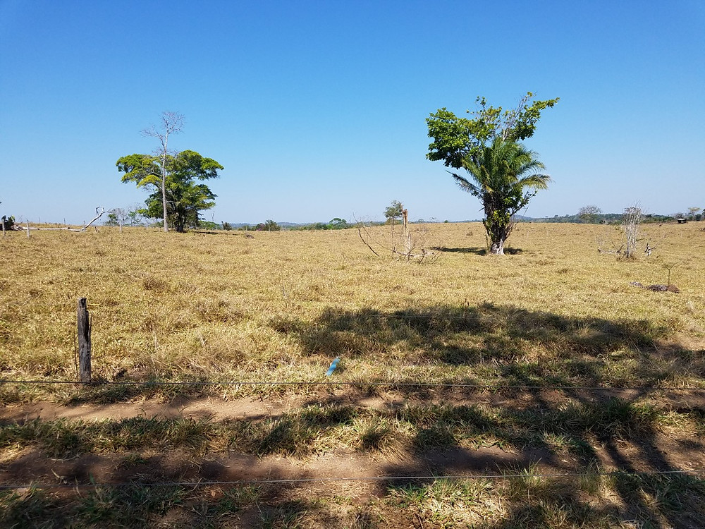 A few green trees growing in dry tan pasture. Clear blue sky in background.