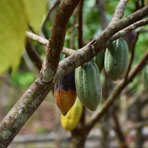 Local Perspectives: An Experimental Cacao Plantation