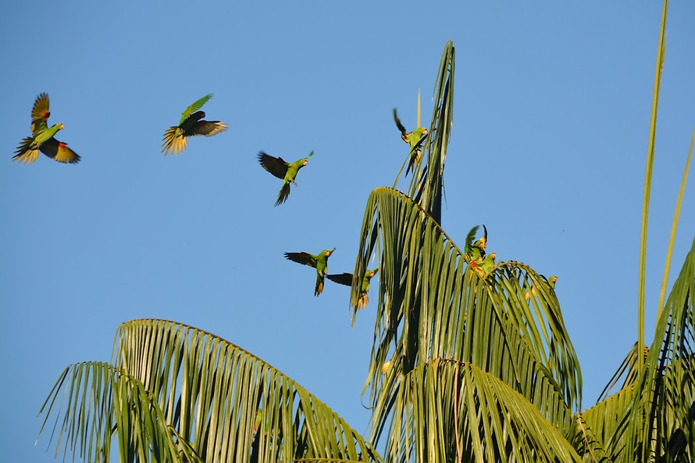 Parakeets flying into the fronds atop a palm tree