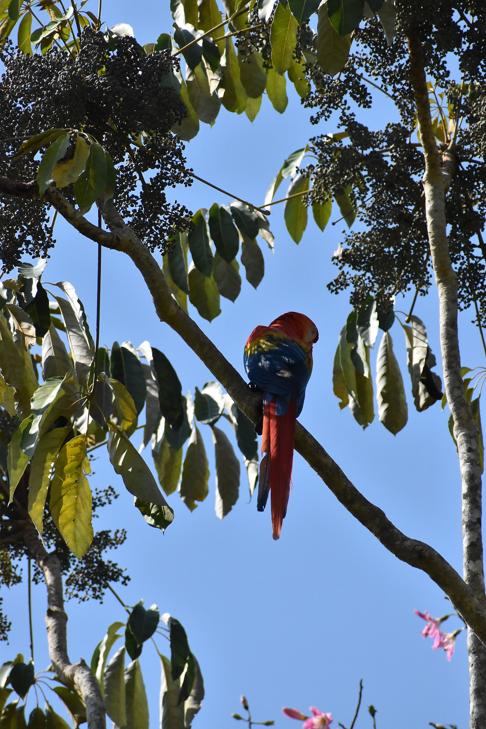 Macaw perched on a tree branch, silhouetted against a clear sky