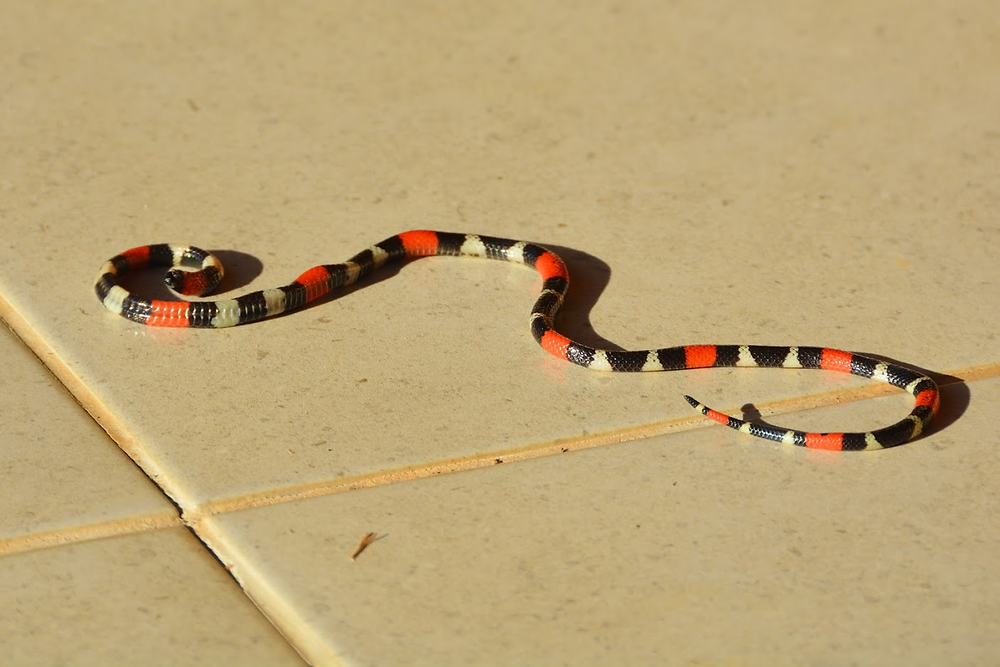 Striped snake on smooth tiled floor