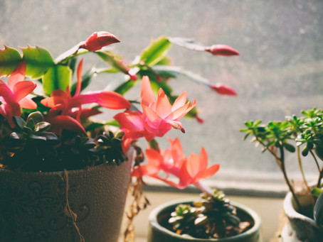 The Holiday Cactus Confusion