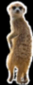 meerkat7.png