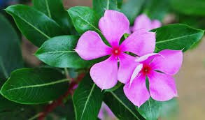 Anti-Diabetic effects of Nithyakalyani Leaves/ Periwinkle Leaves