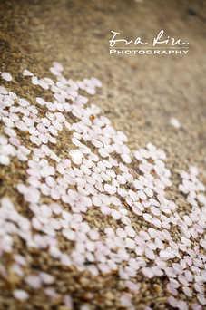petals of sakura on ground