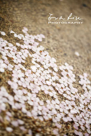 petals of sakura on ground