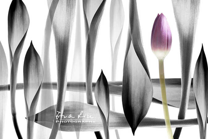 Fine Art Photography creation with tulip