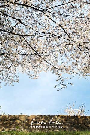 photo art of sakura