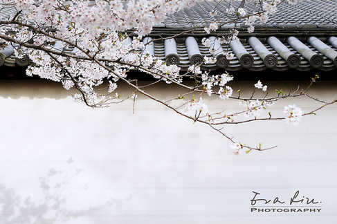 Sakura in Japanese Garden