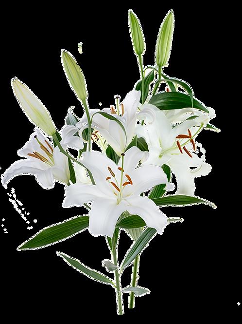 DL Oriental Lily White CB 2st