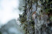 Liken on tree.jpg