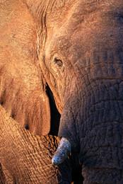 African Elephant II