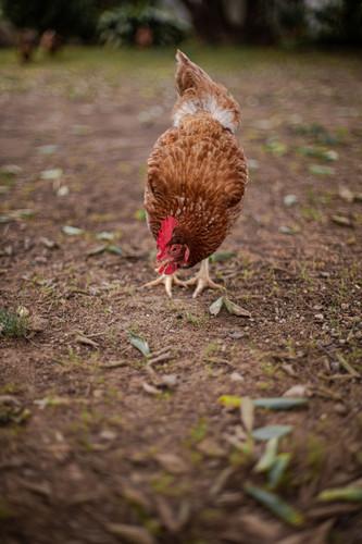 Maria - The chicken